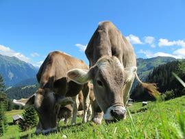 krowy.jpeg